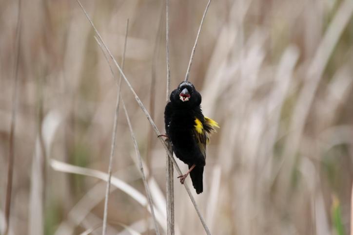 Samtweber, Samtwida / Yellow Bishop / Euplectes capensis