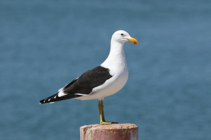 Dominikanermöwe / Kelp gull, Dominican gull / Larus dominicanus
