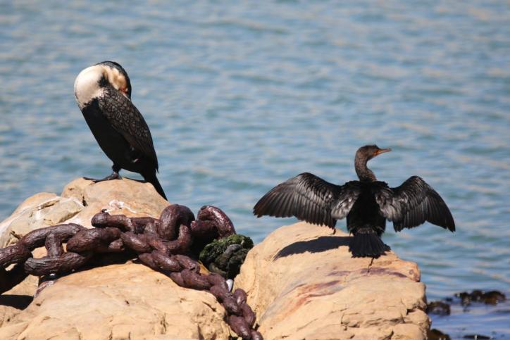 Weißbrustkormoran / White-breasted cormorant / Phalacrocorax lucidus, Phalacrocorax carbo lucidus