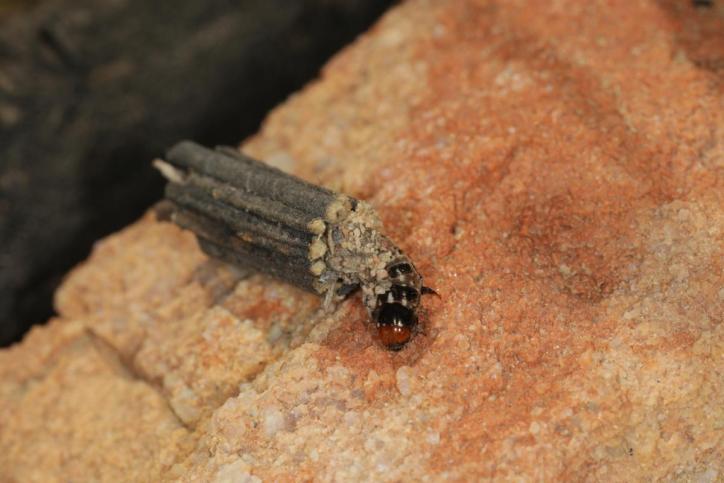 Sackträger / Bagworm moth / Psychidae