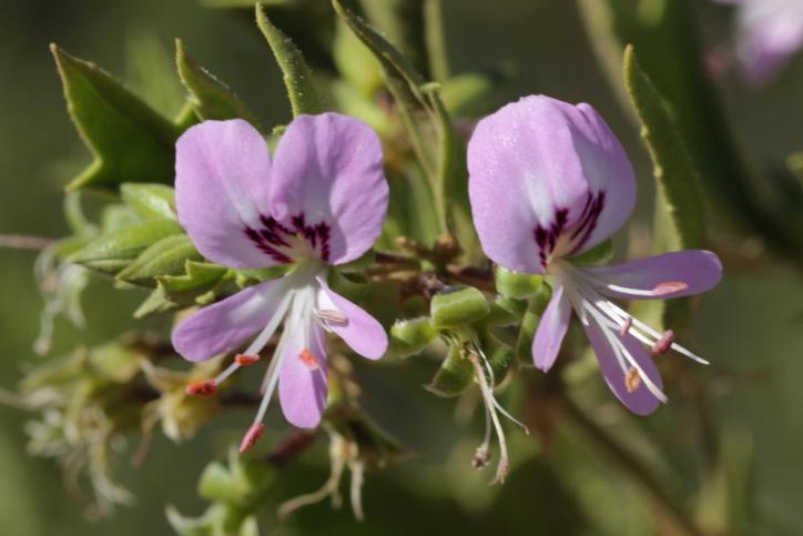 Pelargonien / Geranium / Pelargonium