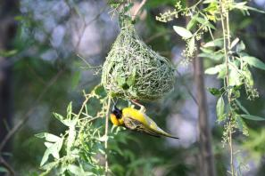 Dorfweber / Village weaver, Spottedbacked Weaver, Black-headed weaver / Ploceus cucullatus