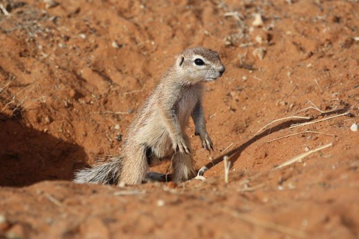 Kap-Erdhörnchen, Kap-Borstenhörnchen / South African Ground Squirrel, Cape Ground Squirrel / Xerus inauris