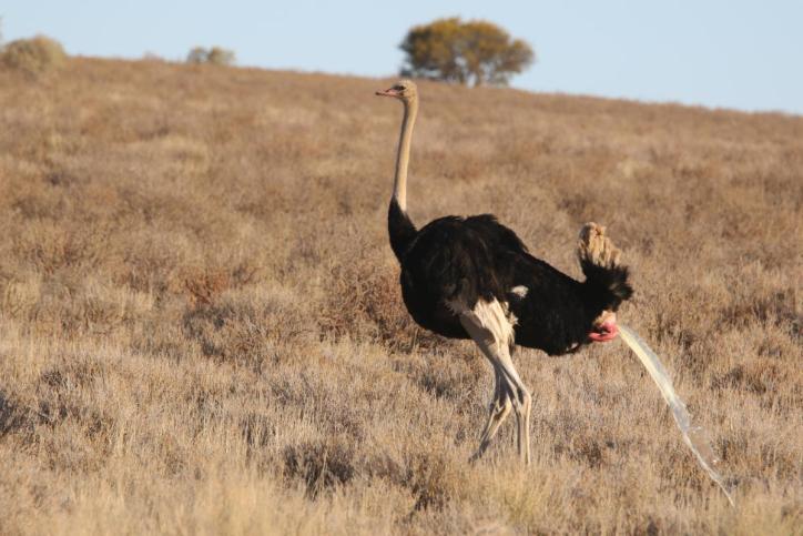 Strauß / Common Ostrich / Struthio camelus
