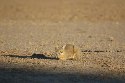 Afrikanische Wildkatze, Falbkatze / African wildcat, Near eastern wildcat / Felis silvestris lybica