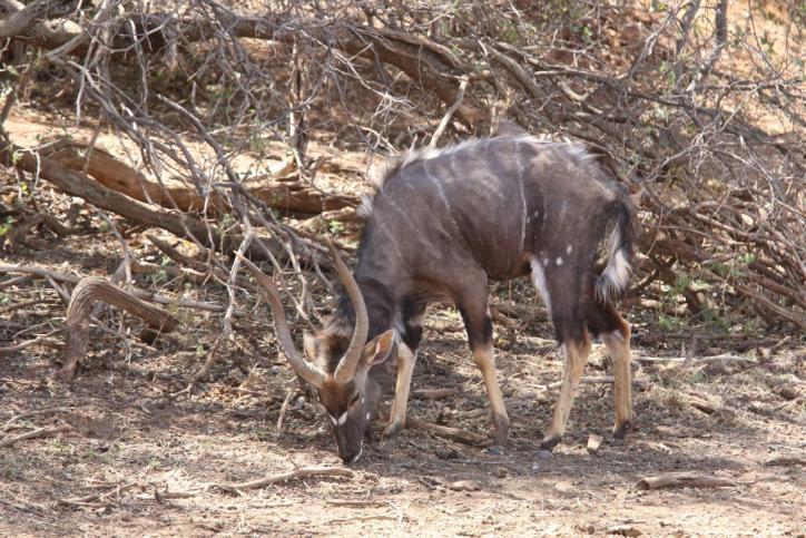 Tiefland-Nyala / Nyala / Nyala angasii, Tragelaphus angasii