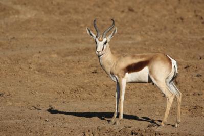 Kap-Springbock / Antidorcas marsupialis