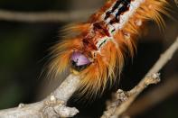 Cape lappet moth / Eutricha capensis