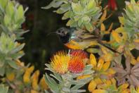 Goldbrust-Nektarvogel / Orange-breasted Sunbird / Anthobaphes violacea