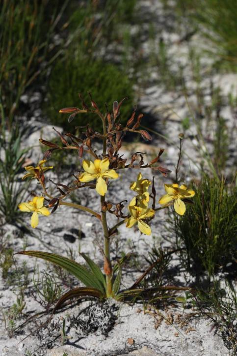 Common Butterflylily / Wachendorfia paniculata