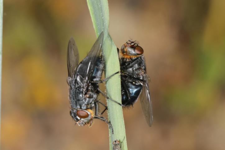 Schmeißfliegen / Blow-flies / Calliphoridae ?