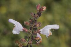 Griechischer Salbei / Greek sage, Three-lobed sage / Salvia fruticosa, Salvia triloba