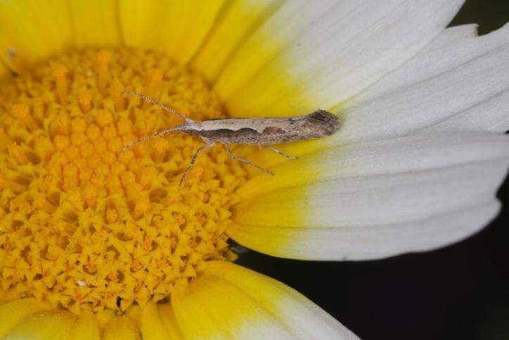 Kohlschabe, Kohlmotte / Diamondback moth, Cabbage moth / Plutella xylostella