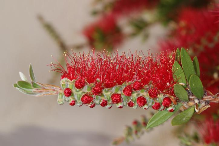 Karminroter Zylinderputzer / Common red bottlebrush, Crimson bottlebrush, Lemon bottlebrush / Callistemon citrinus