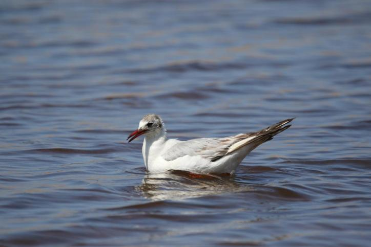 Lachmöwe / Black-headed Gull / Chroicocephalus ridibundus, Larus ridibundus