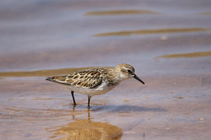 Zwergstrandläufer / Little Stint / Calidris minuta