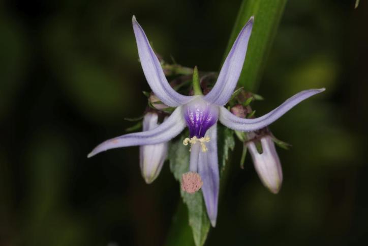 Kretische Rutenglockenblume / Petromarula pinnata, Phyteuma pinnatum