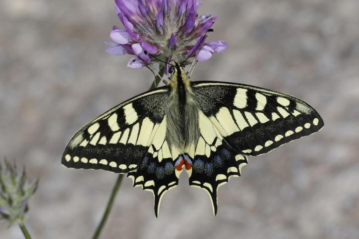 Schwalbenschwanz / Common yellow swallowtail / Papilio machaon