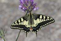 Schwalbenschwanz / Common yellow swallowtail / Papilio machaon