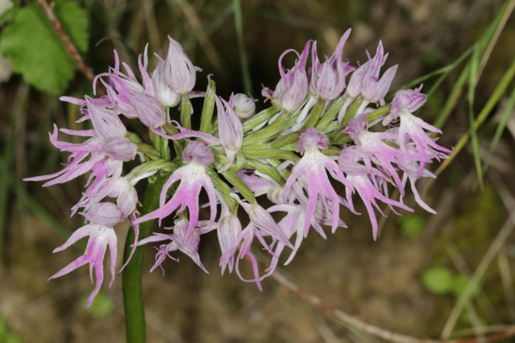 Italienisches Knabenkraut / Naked man orchid, Italian orchid / Orchis italica