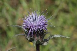 Blaue Färberdistel / Blue safflower / Carduncellus caeruleus
