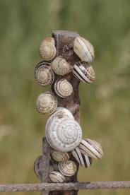 Schnirkelschnecken / Helicidae
