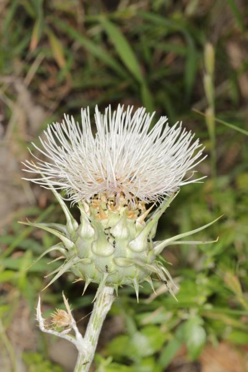 Cynara cornigera