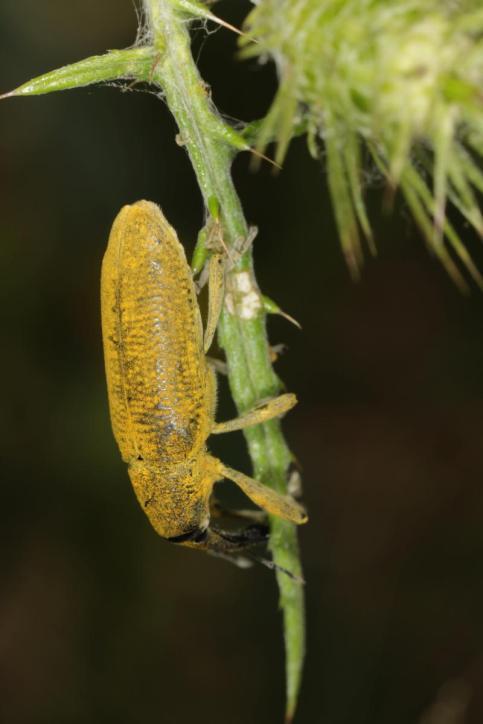 Sumpfrüßler / Lixus algirus