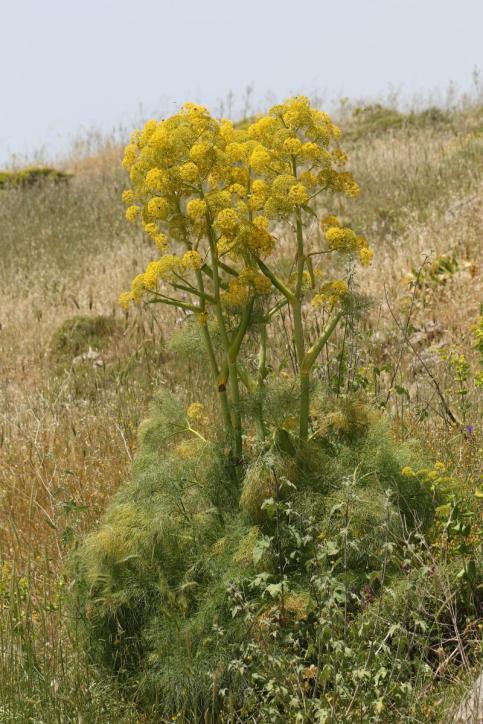 Riesenfenchel, Gemeines Steckenkraut, Gemeines Rutenkraut / Giant Fennel / Ferula communis
