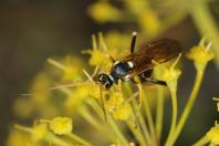 Blattwespen / Common sawflies / Tenthredinidae