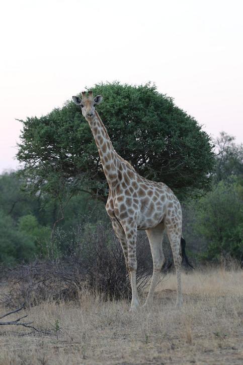 Giraffe / Giraffe / Giraffa camelopardalis