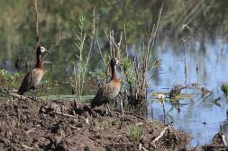 Witwenpfeifgans / White-faced Whistling Duck / Dendrocygna viduata