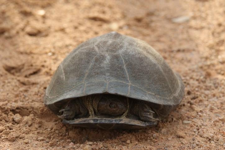 Starrbrust-Pelomeduse / African helmeted turtle / Pelomedusa subrufa ?