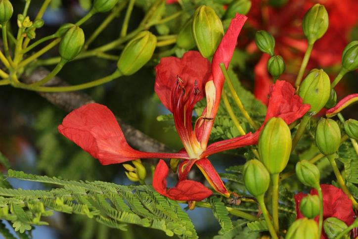 Flammenbaum / Royal poinciana, Flamboyant tree, Flame tree / Delonix regia