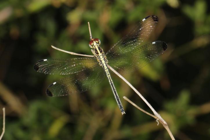 Piedspot / Hemistigma albipunctum