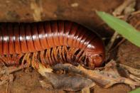 Riesenschnurfüßer / Giant African millipede / Archispirostreptus gigas