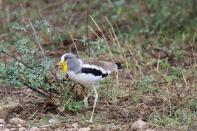 Weißscheitelkiebitz / White-headed lapwing, White-headed plover, White-crowned plover / Vanellus albiceps