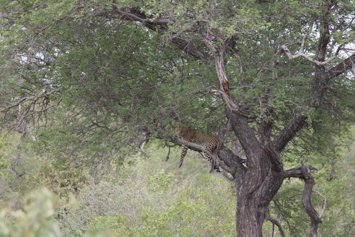 Afrikanischer Leopard / African Leopard / Panthera pardus pardus