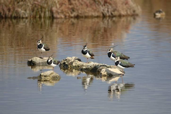 Kiebitz / Northern lapwing / Vanellus vanellus