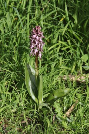 Riesenknabenkraut / Giant orchid / Himantoglossum robertianum, Barlia robertiana