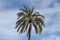 Palmengewächse / Palm trees, Palms / Arecaceae