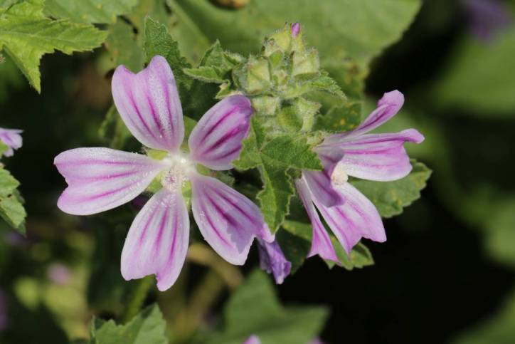 Wilde Malve / Tall mallow / Malva silvestris