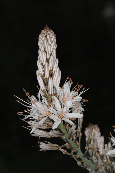 Asphodelus macrocarpus ?