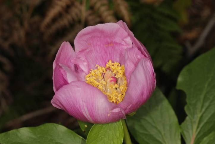 Paeonia broteri