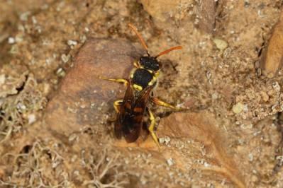 Wespenbienen / Nomad bees / Nomada