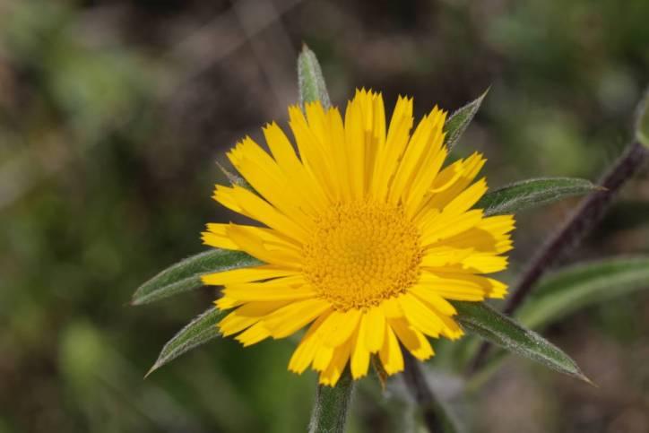 Stechendes Sternauge / Spiny Starwort, Spiny Golden Star / Pallenis spinosa ?