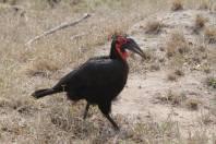 Südlicher Hornrabe / Southern Ground-Hornbill / Bucorvus leadbeateri