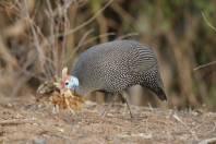 Helmperlhuhn / Helmeted Guineafowl / Numida meleagris