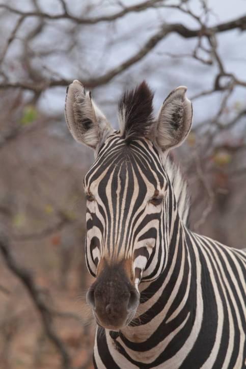 Burchell-Zebra