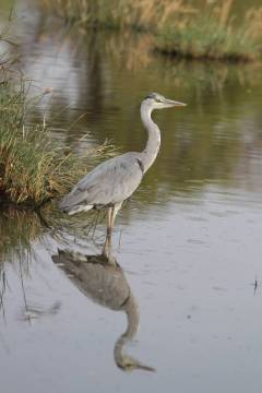 Schwarzhalsreiher / Black-headed heron / Ardea melanocephala